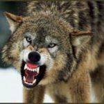 Wilk zaatakował dzieci