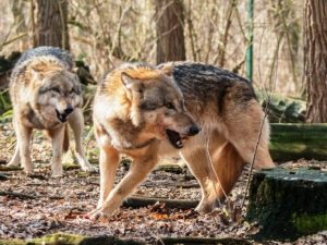 wilk-zaatakowal-dzieci